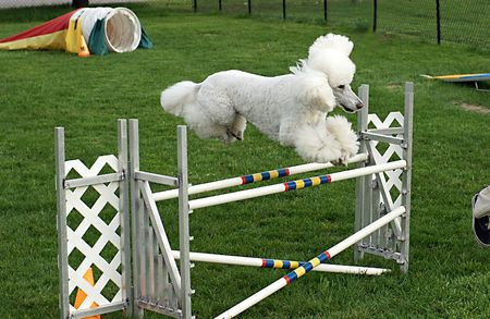 Standard poodle clears a double jump with ease in agility class Stock Photo