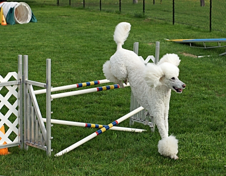 Standard poodle clears a double jump with ease in agility class Stok Fotoğraf