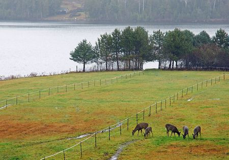 five white-tailed deer graze in a pasture on a New Brunswick Farm Stock Photo