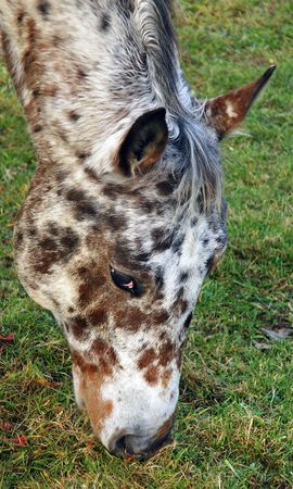 The Appaloosa is a breed of spotted horses developed by Native Americans in the 1700s. Stock Photo