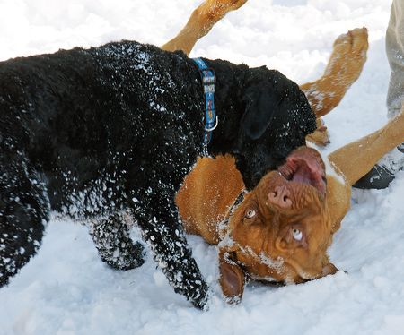 instincts: Dogue de Bordeaux puppy and a Portuguese Water Dog play in the snow.  Stock Photo