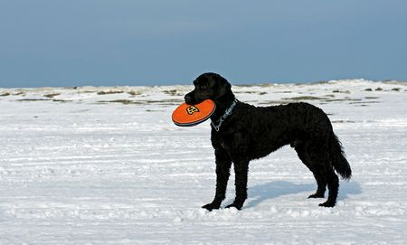A Portuguese Water Dog Retrieves a frisbee on the frozen shore of Georgian Bay photo