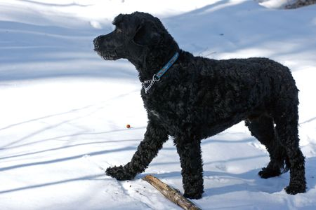 Young Portuguese Water Dog chews on a stick in the snow photo