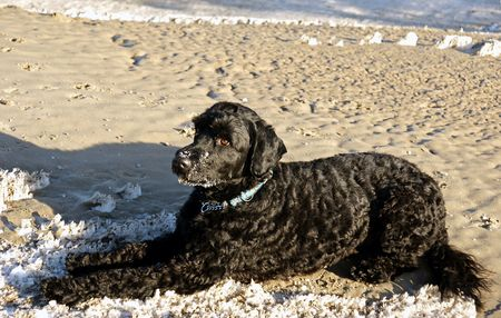 Portuguese Water Dog at the beach waiting for the ice to melt