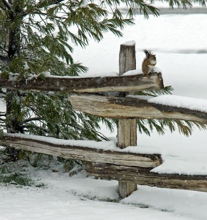 Red Squirrel on split rail fence in Winter