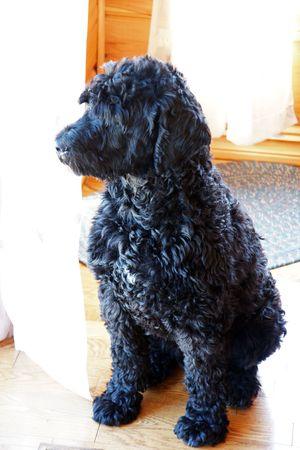 Portuguese Water dog keeping a watchful eye on his surroundings photo
