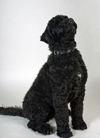Black wavy-coated Portuguese Water Dog
