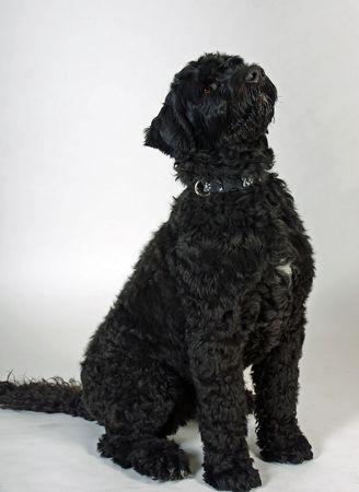 Black wavy-coated Portuguese Water Dog