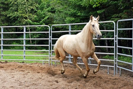 kentucky: Palomino Kentucky Mountain Horse in the Ring Stock Photo