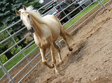 Palomino Kentucky Mountain Horse in the Ring Stock Photo