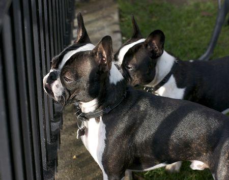 boston bull terrier: Black and White Litter Mates