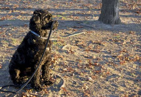Funny Portuguese Water Dog photo