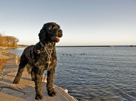ポルトガル水犬