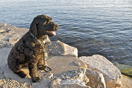 portuguese: Portuguese Water Dog  Stock Photo