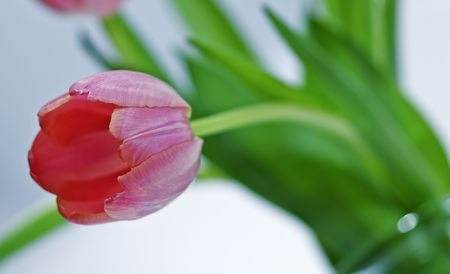 variegated: Pink Tulip with variegated petals in a vase Stock Photo