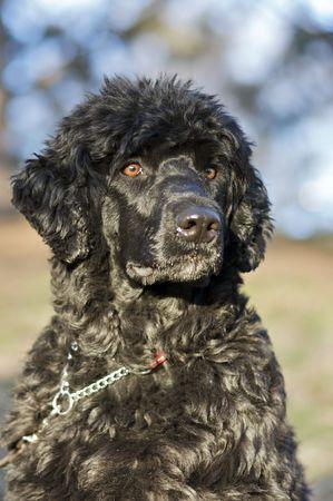 Portuguese Water Dog  photo