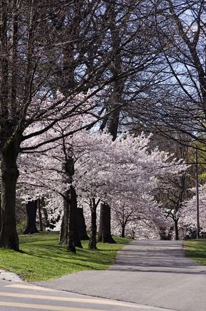 high park: Cherry Trees in piena fioritura in High Park, Toronto  Archivio Fotografico