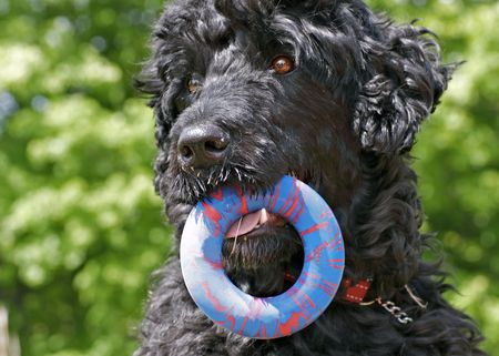 Portuguese Water Dog with a toy ring in his mouth