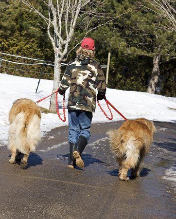 Teenage Boy Walking Leonberger Dogs Stock Photo