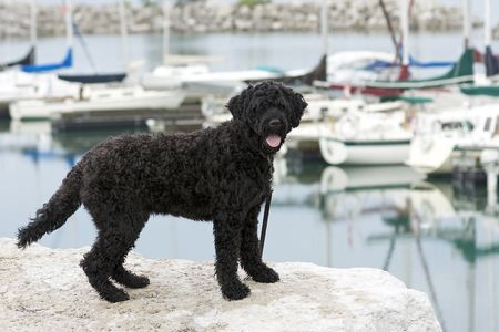 portuguese: Portuguese Water Dog standing on the rocks by a marina Stock Photo