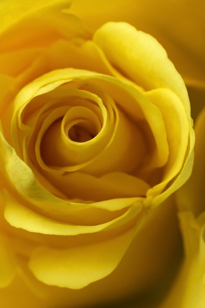 Yellow Rose - Macro image Stock Photo