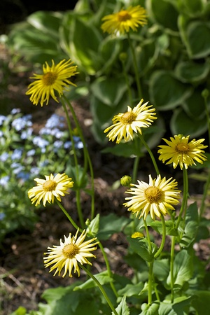 herbaceous border: Leopards Bane - Doronicum plantagineum is a perennial plant with pretty yellow flowers in the spring and early summer Stock Photo