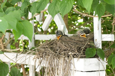 A robins nest with ten-day-old chicks built on a trellis in full view of a kitchen window.