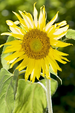 Single yellow sunflower set against a blurred background  Stock Photo