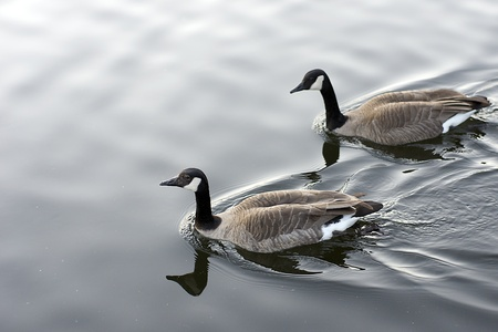 A Pair of Canada Geese on Pond