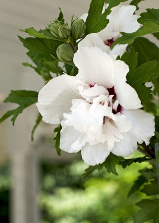 ornamental shrub: Double White Rose of Sharon - Hibiscus Genius Stock Photo