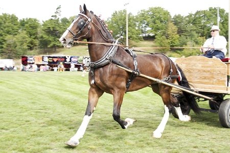 Draft Horse pulling cart in competition at the Port Hope Agricultural Fair held September 17, 2011