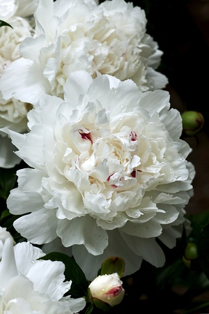 The Peony is native to Asia, southern Europe and western North America. Boundaries between species are not clear and estimates of the number of species range up to 40.  Stock Photo