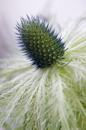 prickles: Eryngium Thistle - Jackpot. A macro image of an ornamental thistle commonly known as Jackpot and part of a group of flowering plants characterized by leaves with sharp prickles on the margins. Stock Photo