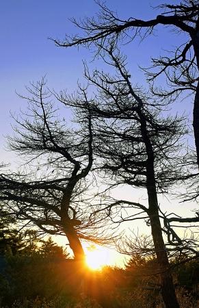 arboles secos: Árboles azotados por el viento característico de Georgia Islas de la Bahía se recortan contra un cielo azul como el sol aparece en el horizonte