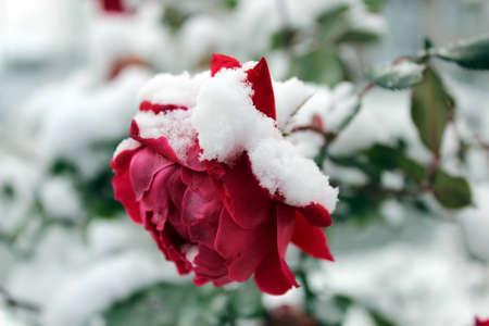 winter photos: snow rose Stock Photo