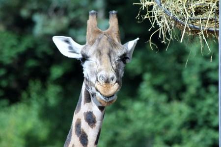 girafe: smiling giraffe