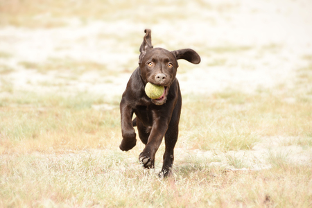 Cute brown labrador puppy dog running with ball in his mouth in green grass field.