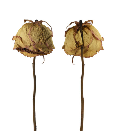 Two sad dried dead roses isolated on white background