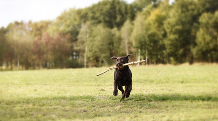 Labrador puppy dog ??running with branch in his mouth in green grass field