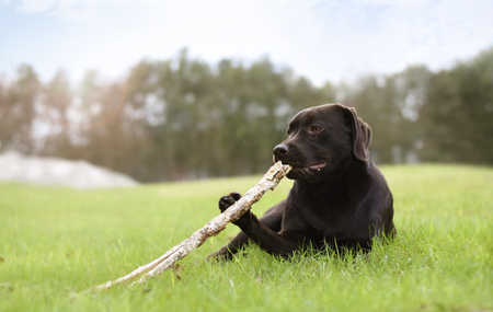 Puppy hold a wooden branch with his paw lying down in grass with forest on background on a summer day