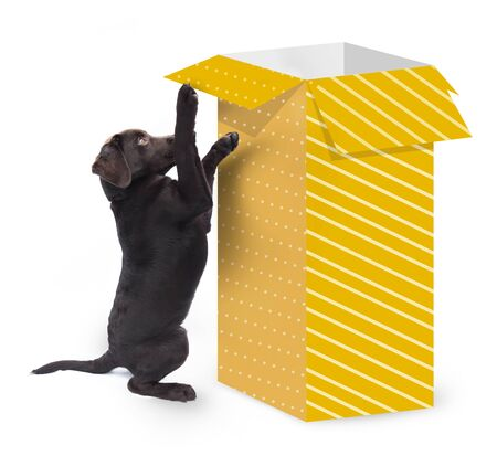 Cute curious dog jumping against a big present box with yellow gift paper isolated on white background Banco de Imagens