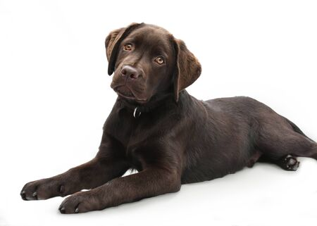 Portrait of a cute brown labrador puppy lying down on isolated white background