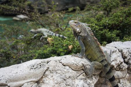 curacao: Iguana at Playa Lagun in Curacao