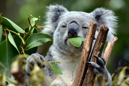 Koalas at Lone Pine Koala Sanctuary in Brisbane, Australia Stock Photo