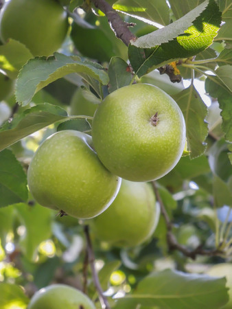 granny smith: Fresh green Granny Smith apples