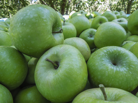 Fresh green Granny Smith apples