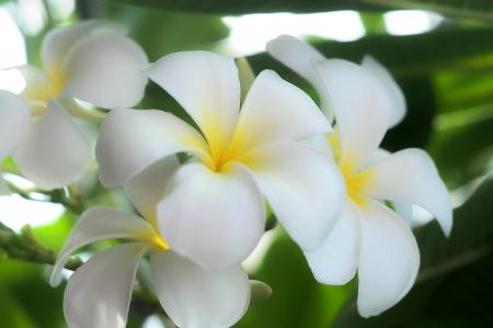 beautiful white frangipani flower photo