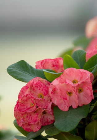 Close Up of Crown of thorns, Christ Thorn , poi sian flowers photo