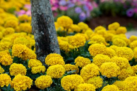 tagetes:  Marigold,Yellow Flower in garden