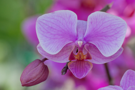 Beautiful purple orchid with blur background photo
